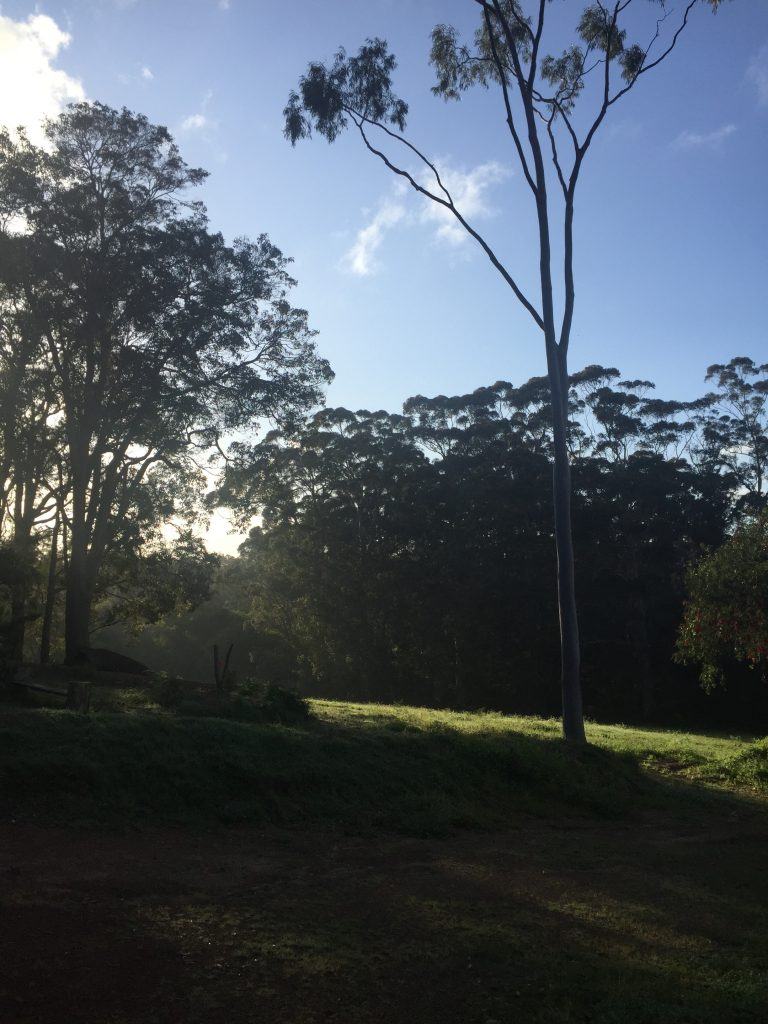 A view of the sun rising over a hill lined with tall Karri trees.